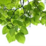Bignonia Tree