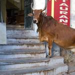 Cow In Udaipur