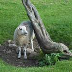 Sheep Under Tree
