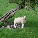 Sheep Near Tree