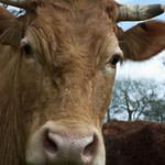 A photo of a brown Jersey cow close up