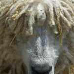A close up photo of a sheep with ringlets of wool hanging over its eyes