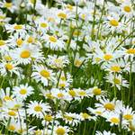photo of a field of wild daisies