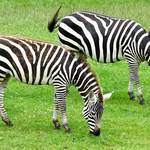 photo of two Grant's zebras browsing in a field