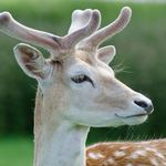 photo of a close up of a Fallow deer