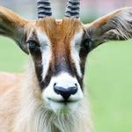 photo of a close up of a Roan antelope face