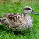 photo of a Marbled Teal sitting on the grass