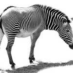 photo of a zebra in black and white