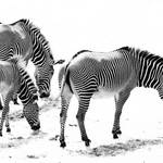 photograph in black and white of zebras against white background
