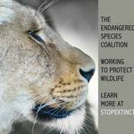 photo of a lioness with a statement promoting the Endangered Species Coalition