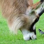 roan antelope and wagtail on grass near one another