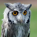 photo of a Scops owl