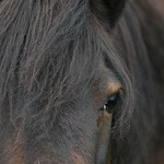 A close-up photo of a dark brown horse looking at the camera