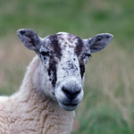 A photo of a sheep with speckled black and white face