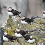 Puffins sitting on a ledge on the rocks of the Isle Of May in the Firth Of Forth in Scotland