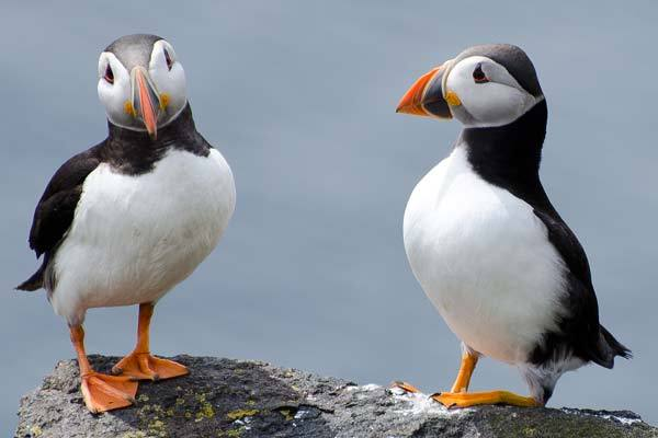Puffins standing on a ledge on the rocks of the Isle Of May in the Firth Of Forth in Scotland