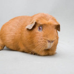 A photo of a an English crested guinea pig