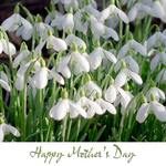Snowdrops For Mother's Day