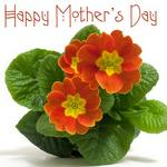 primulas and text reading Happy Mother's Day