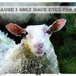sheep with text 'Because I only have eyes for ewe'