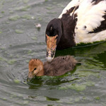 A photo of a Muscovy duck and duckling
