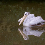 a photo of a pelican swimming with its wings held out