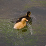 a photo of two ducklings swimming - one yellow and one brown