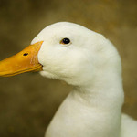 a photo of a white duck with a yellow beak - looking at the camera