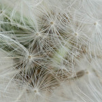 photo of dandelion flower spores