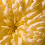 photo of yellow chrysanthemum petals