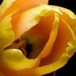 photo close up of a gold tulip