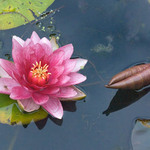 photo of red lotus flower