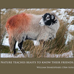 a photo of a sheep on a moor with a quote by WIlliam Shakespeare about nature teaching animals to know their friends