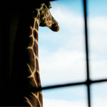 photo of a giraffe looking out, with a quote by Martin Buber about an animal's eyes.